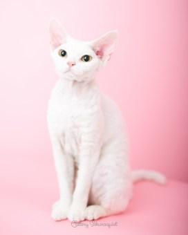猫写真家でデボンレックスとシンガプーラなキャッテリー | Sakuraquiet Photo & Cattery