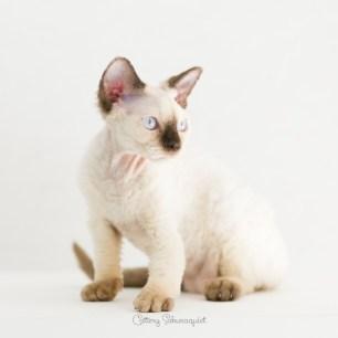 デボンレックス KIKIの仔猫 チョコレートポイント メス Devon Rex Kittens KIKI chocolatepoint female