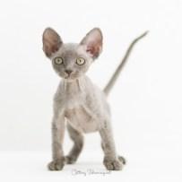 デボンレックス KIKIの仔猫 ブルートーティー オス Devon Rex Kittens KIKI Blue male