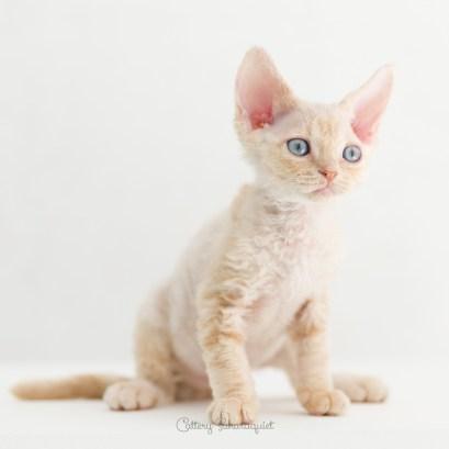 デボンレックス SNIPの仔猫 クリーム オス Devon Rex Kittens SNIP Cream male