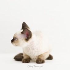 デボンレックス YUASAの仔猫 シールポイント メス Devon Rex Kittens YUASA sealpoint female