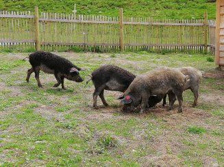 Schweine3
