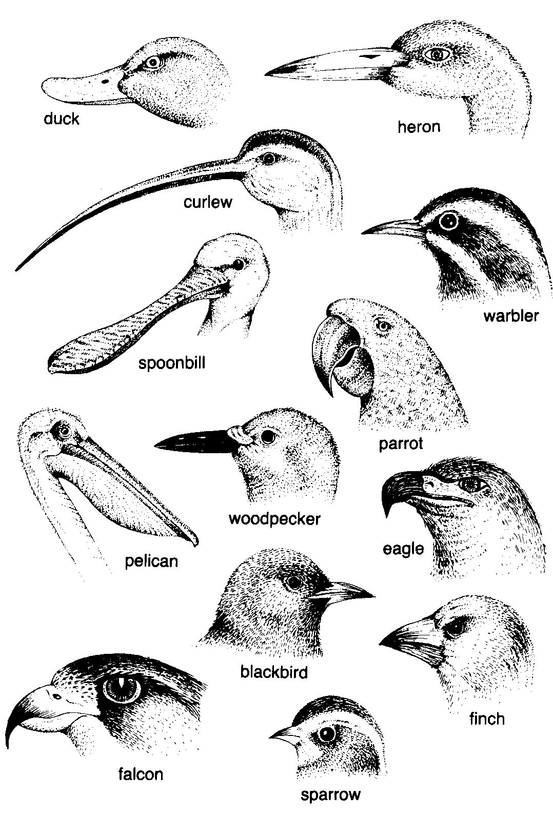 saladogt / Bird Adaptations
