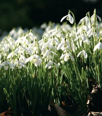 Common Snowdrop Photographic Card, by Heart of a Garden