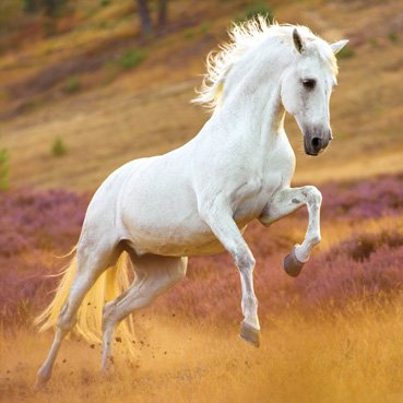 Andalusian horse Card