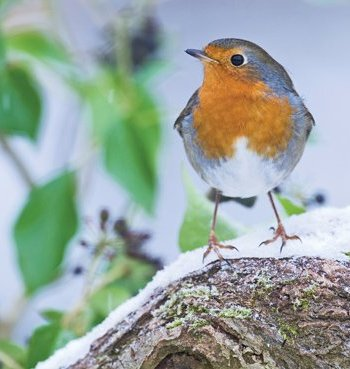 Robin in the snow Card