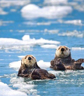 Sea Otters Card