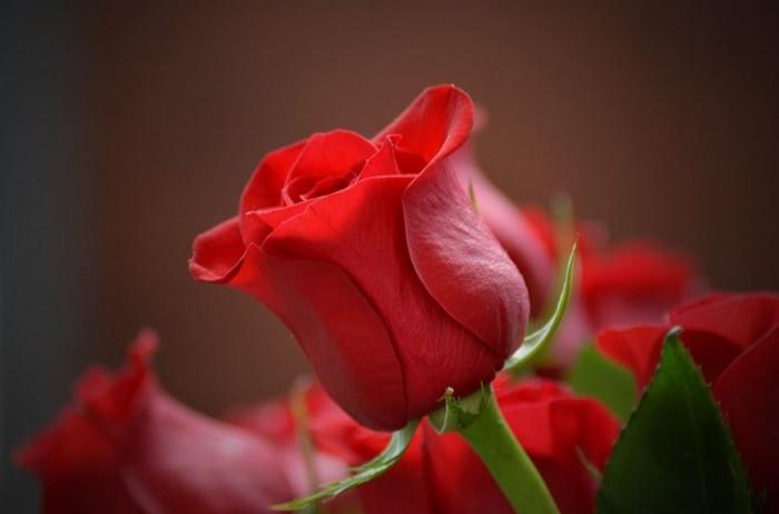 bunga-mawar-tercantik-dan-terindah-di-dunia