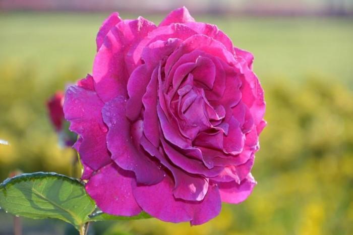 bunga-mawar-pink