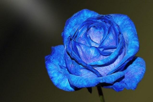 gambar-bunga-mawar-biru-1
