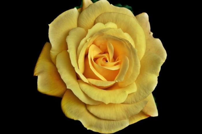 gambar-bunga-mawar-kuning-tercantik-di-indonesia