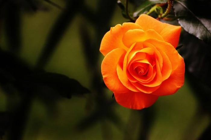 gambar-bunga-mawar-tercantik-di-asia-timur