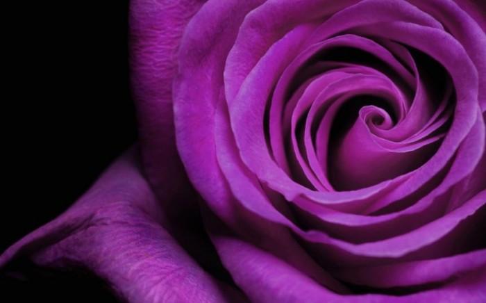 gambar bunga mawar ungu