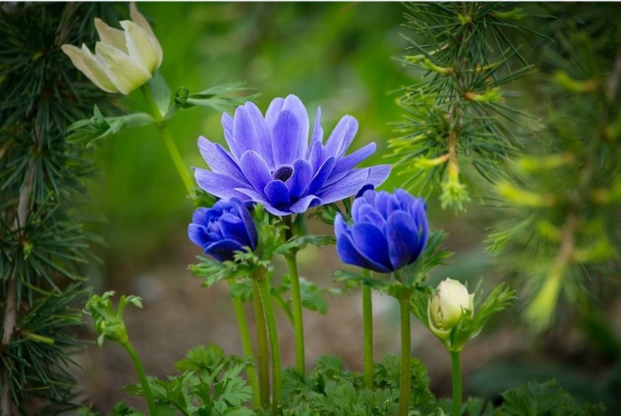 bunga-anemon
