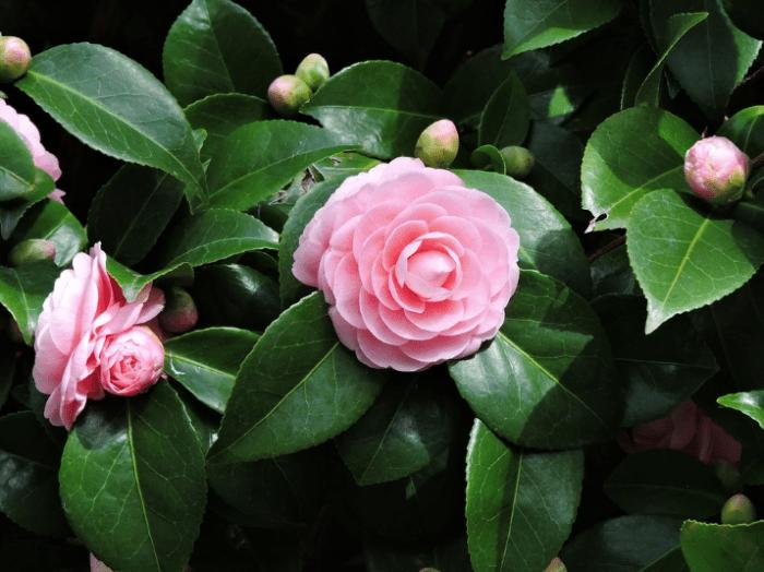 bunga-tercantik-di-dunia-camellia