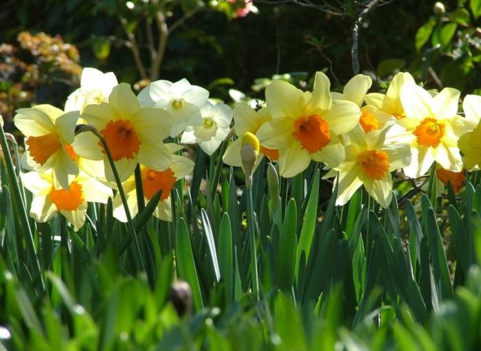macam-macam-bunga-daffodils