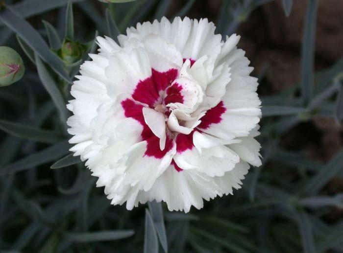 bunga-dianthus