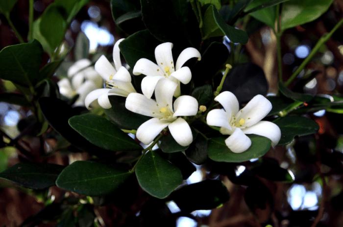 bunga-jasmine