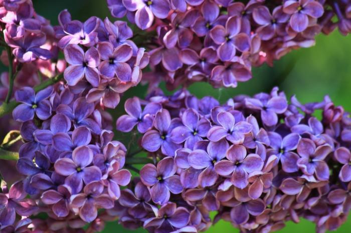bunga-lilac