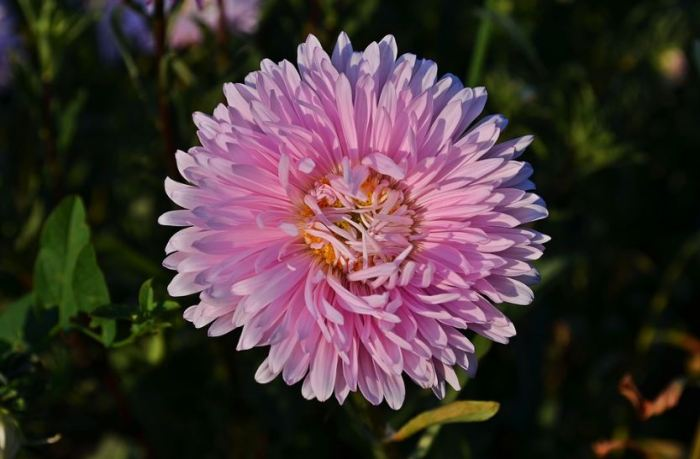 bunga tercantik di dunia bunga aster