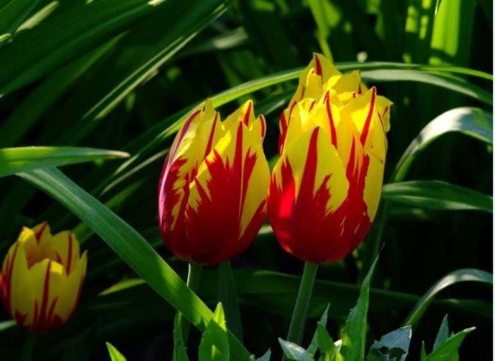 bunga tercantik terindah cantik bunga tulip