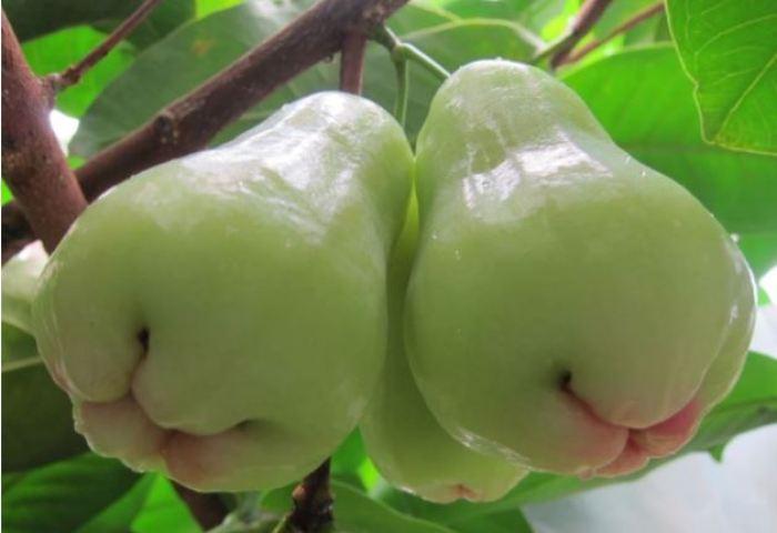 buah jambu air