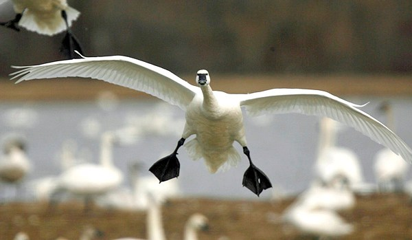 Tundra Swans 20090321