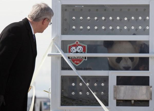 Prime Minister Stephen Harper peers into Da Mao's enclosure upon the giant panda's arrival in Canada