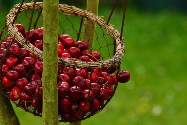 گیلاس سیاه یا قرمز تیره دارای خاصیت ضد التهابی و ضد درد است.