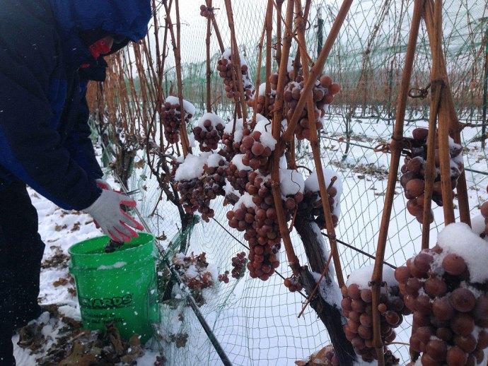 حتی زمستانهای سخت نیز مانع از کشاورزی در سنت کاترین نیست