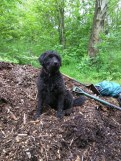 Canine volunteer on the woodchip pile