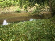 Himalayan balsam cleared on the bank of the Bollin