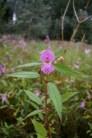 Himalayan balsam flower