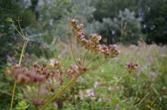 Seeds of common hogweed