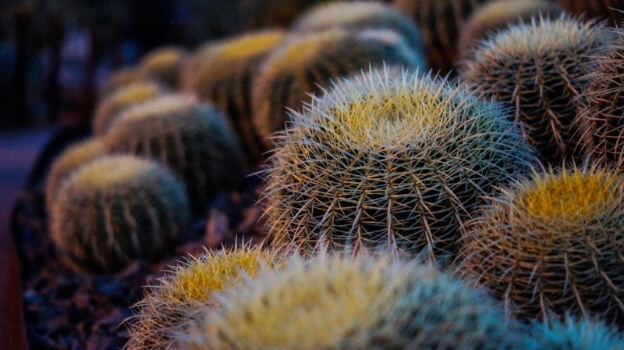 Cacti that could be used for home security