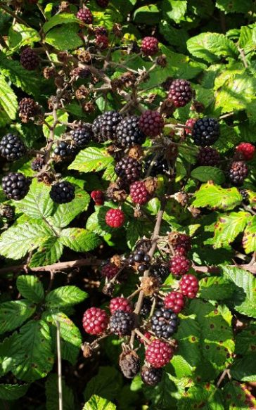 Blackberries, Fiona Crowther