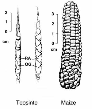 Corn is a-MAIZE-ing