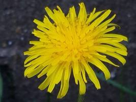 Photo of a Dandelion