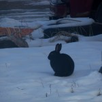 wild rabbit in snow