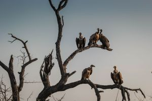 Vultures in a Dead tree