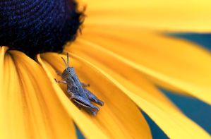 A yellow flower with a grasshopper