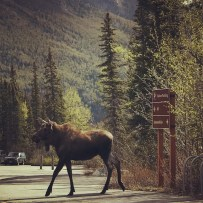 Moose Crossing Denali National Park