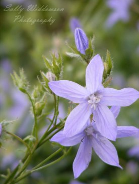 pale purple campanula flowers close up