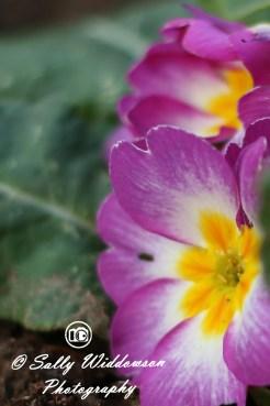 7---Violet