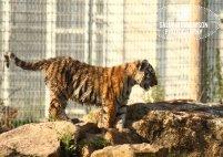 Sally Widdowson Photography amur tiger cub Yorkshire Wildlife Park