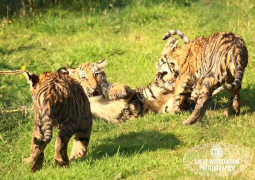 Sally Widdowson Photography amur tiger cubs playing together Yorkshire Wildlife Park