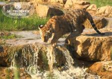Sally Widdowson Photography amur tiger cub by waterfall Yorkshire Wildlife Park