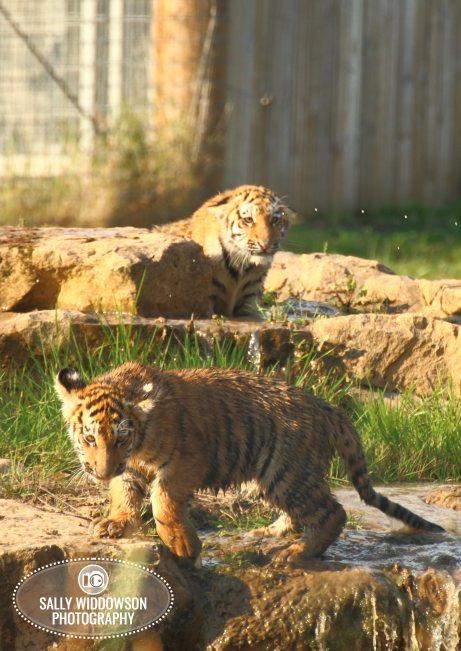 Sally Widdowson Photography amur tiger cubs in pool Yorkshire Wildlife Park
