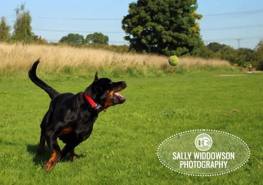 Roo Proctor doberman dog action shot running catch tennis ball Sally Widdowson Photography