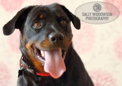 Roo Proctor doberman dog portrait head shot tongue out front viewSally Widdowson Photography